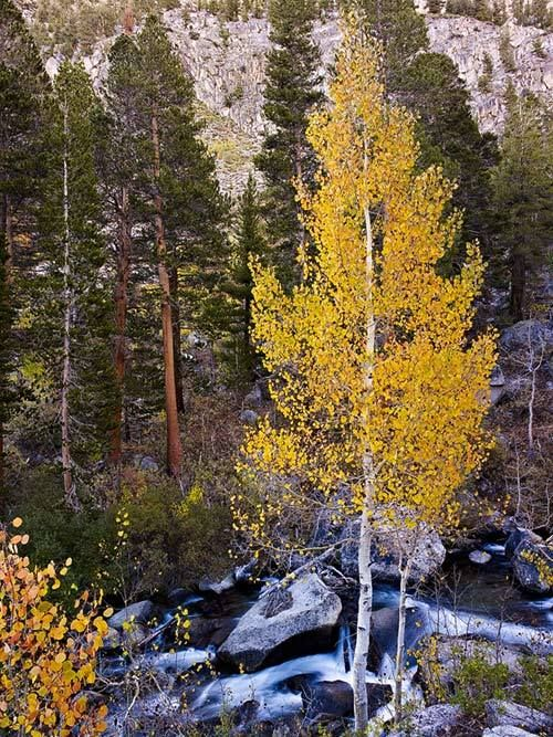 Golden Aspen above Bishop Creek