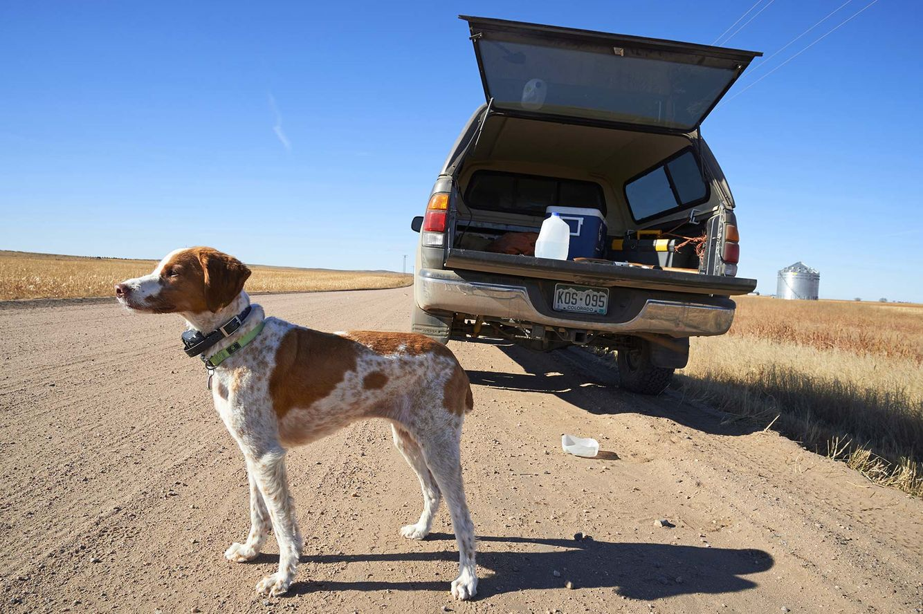 Bird dog, Brittany,  Holyoke, bird hunting, pointer, The Pointing Dog Journal