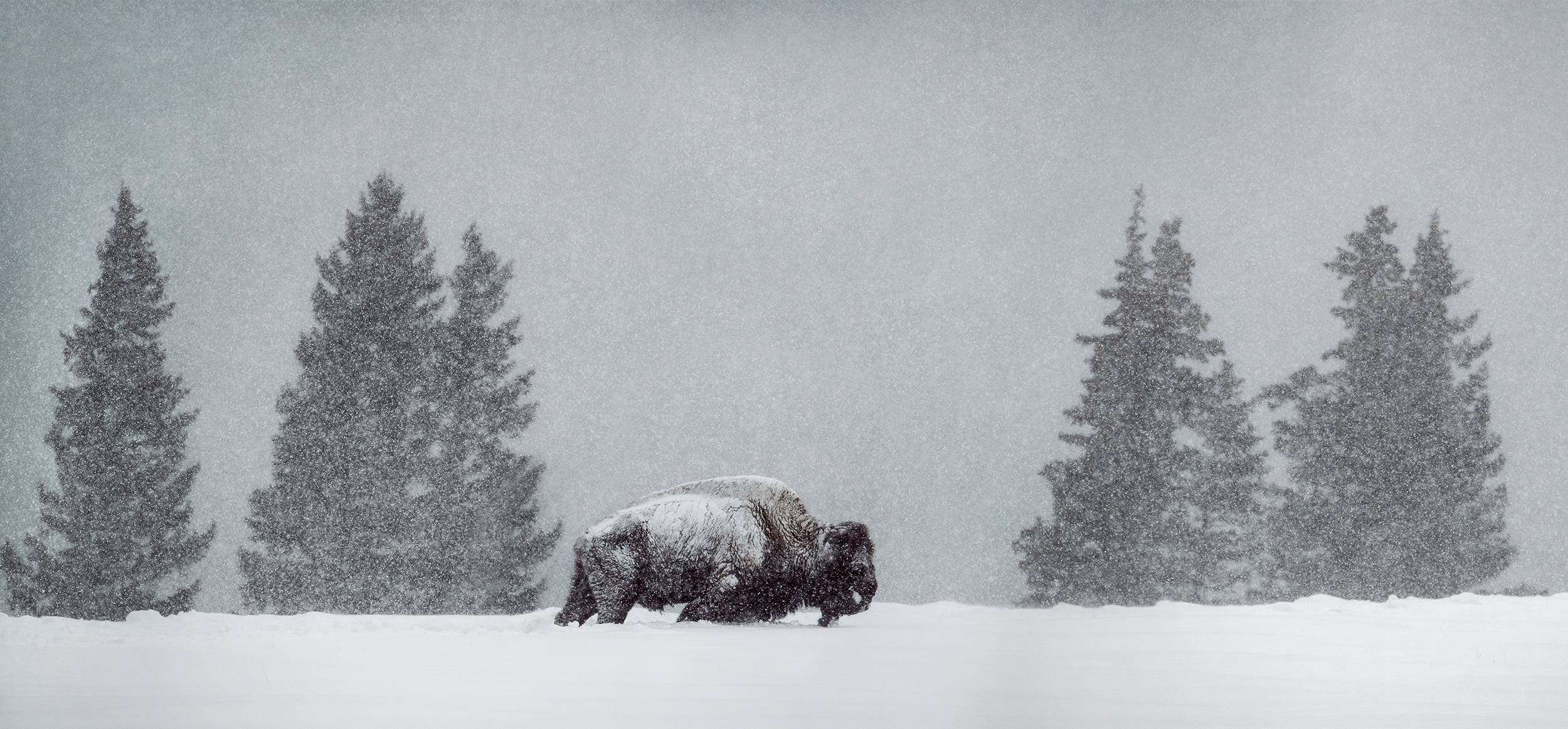 _DSC4304_Pano_Snow-Bison for website.jpg