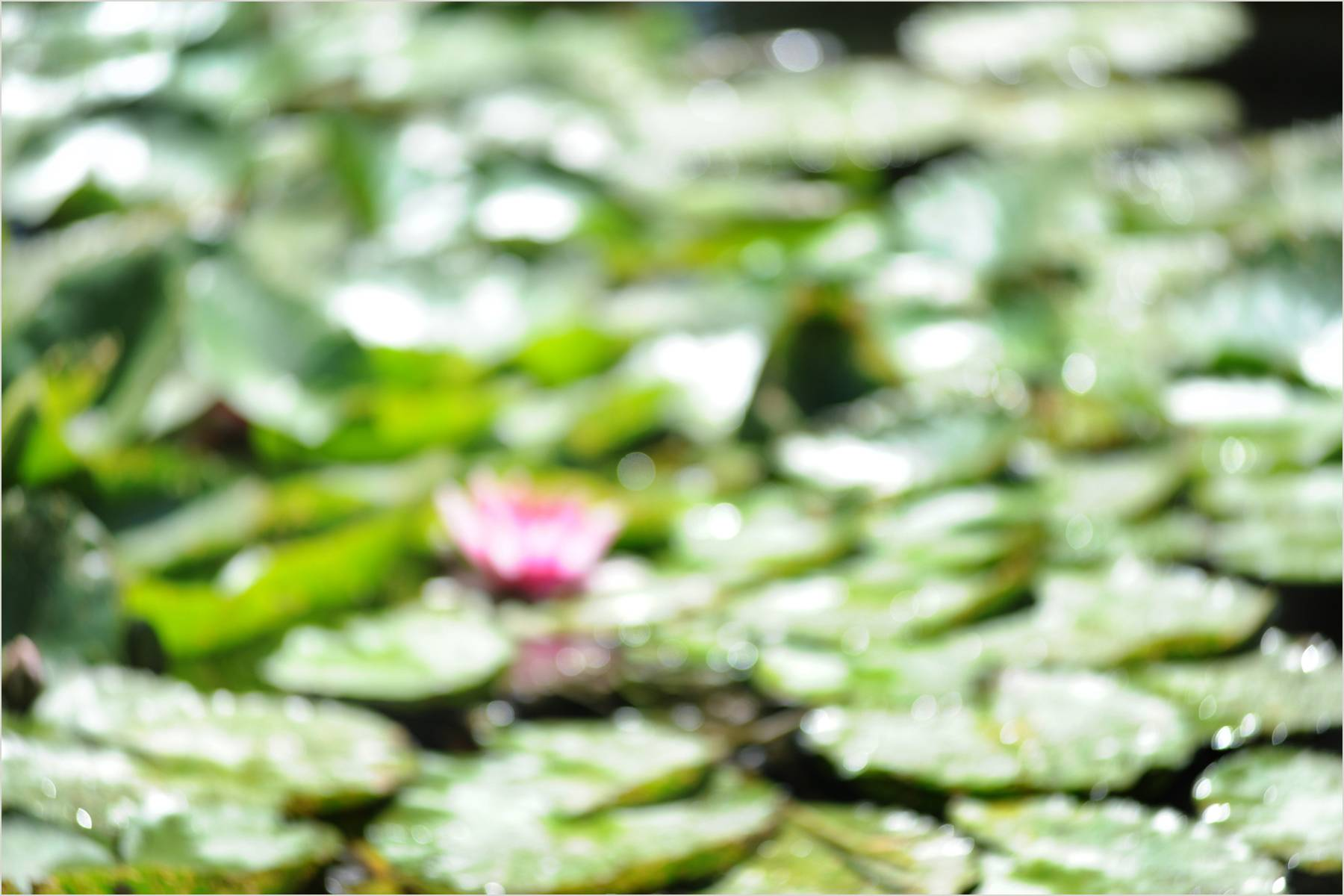 16_1giverny_lillies_rwl_7110_for_2012_website.jpg