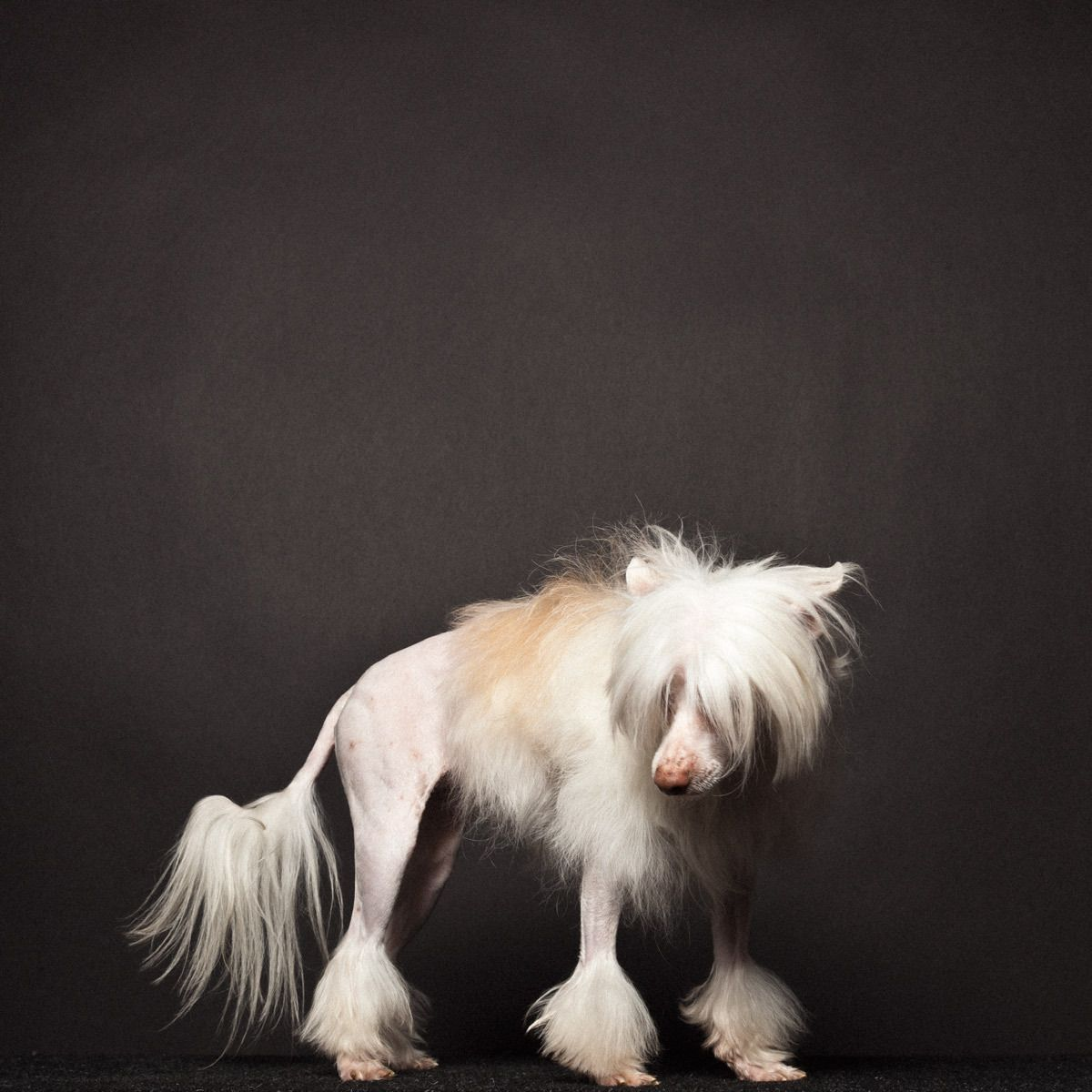 Bessy, Chinese Crested