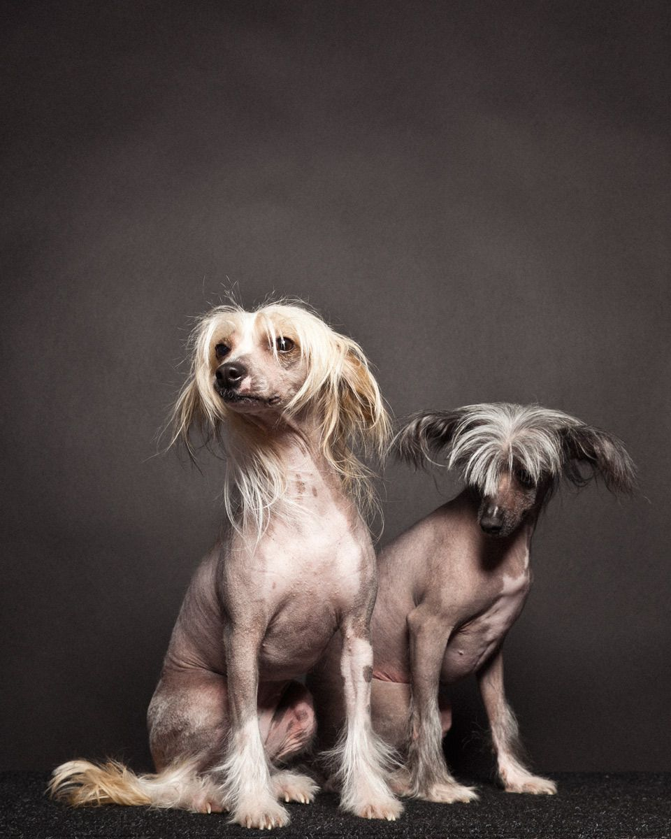 Harriette and Aretha, Chinese Crested