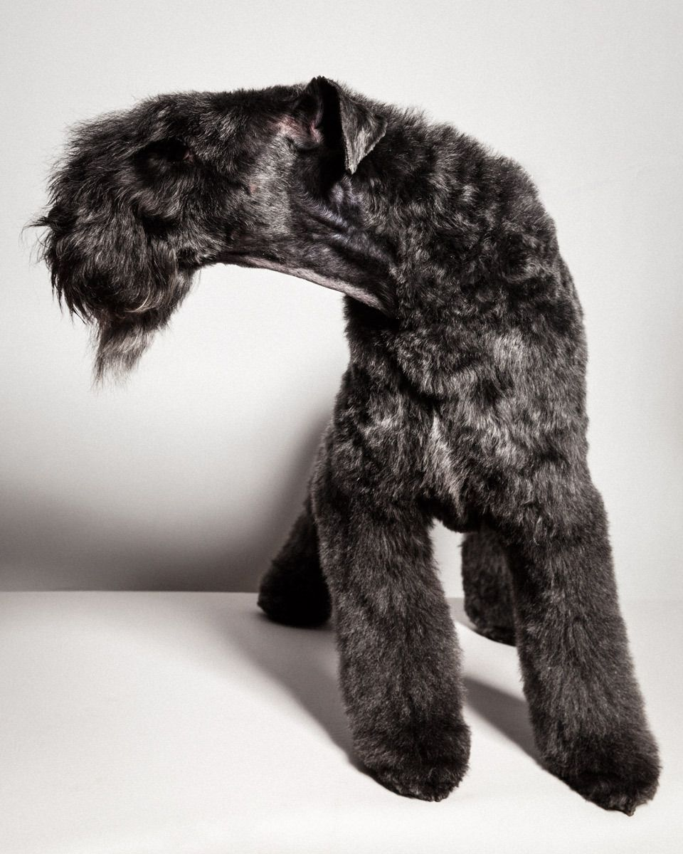 Conner, Kerry Blue Terrier