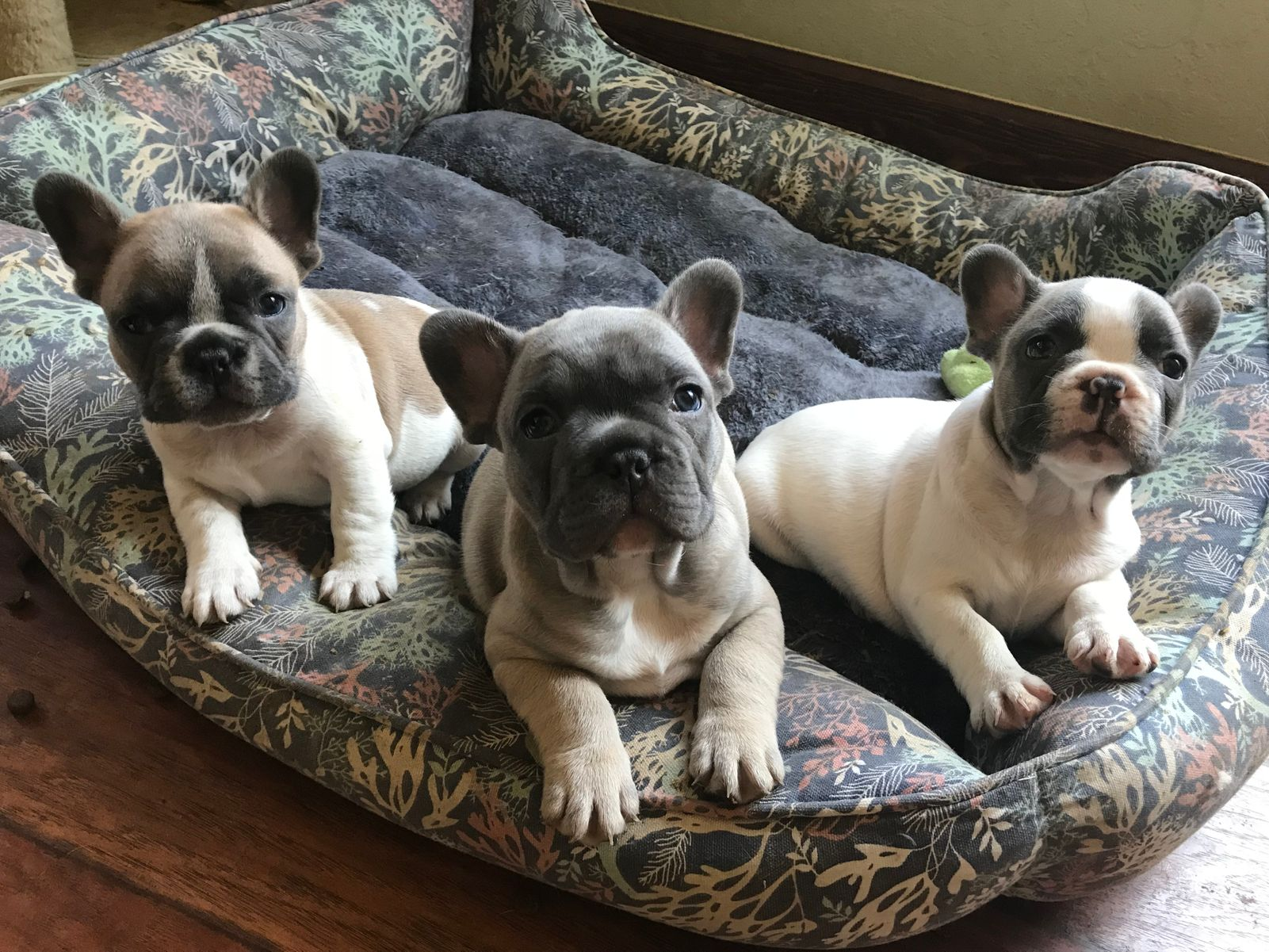 Magnum French Bulldogs