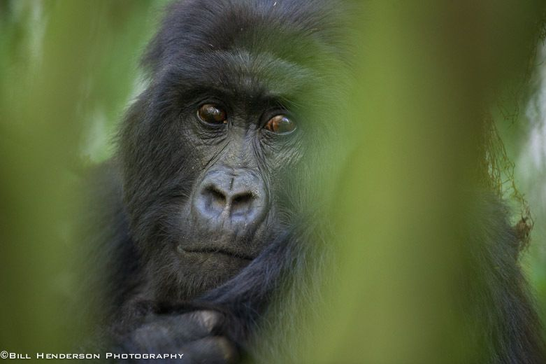 1Rwanda_Mountain_Silver_Back_Gorilla