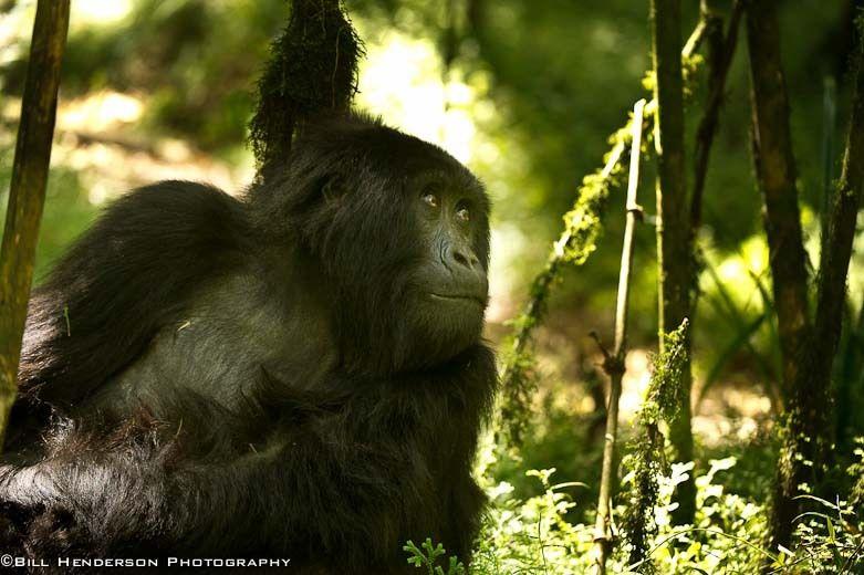 1Rwanda_Mountain_Gorilla
