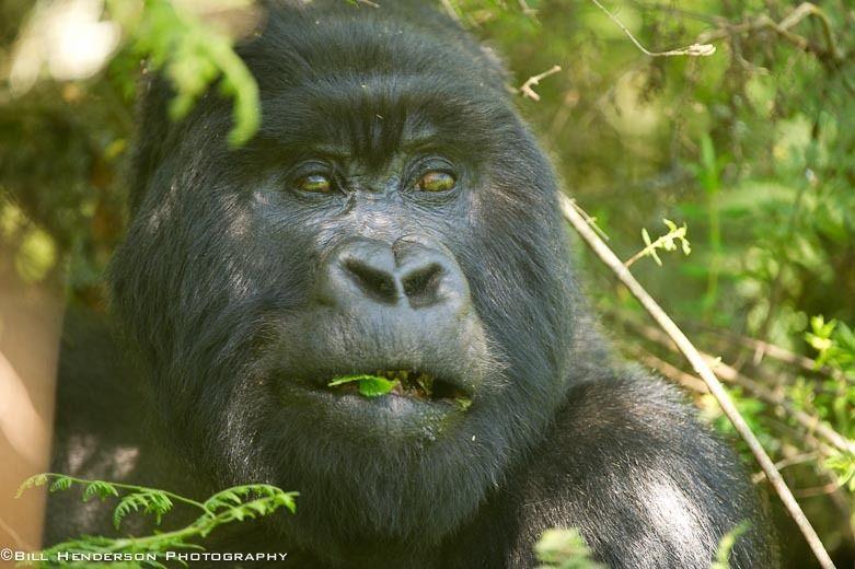 1Rwanda_Mountain_Silver_Back_Gorilla_3