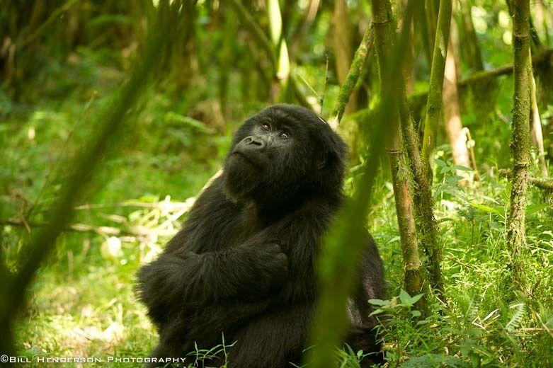1Rwanda_Mountain_Gorilla_2