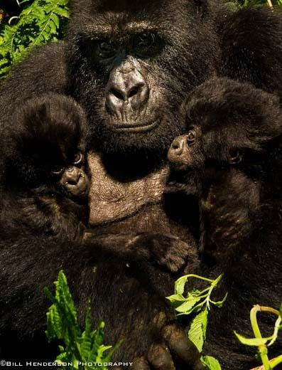 1Rwanda_Mountain_Twin_infant_Gorillas
