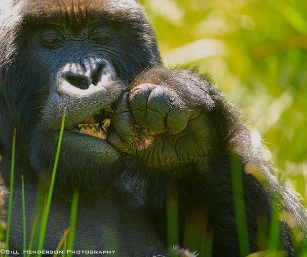 1Rwanda_Mountain_Silver_Back_Gorilla_2