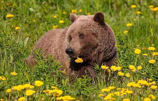 BROWN BEARS 4