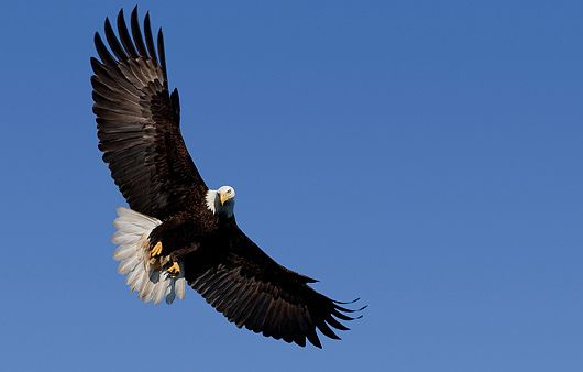 BALD EAGLES 1
