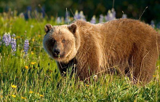 BROWN BEARS 1