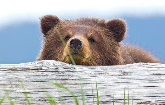 BROWN BEARS 2