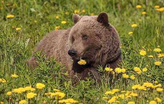 BROWN BEARS 4