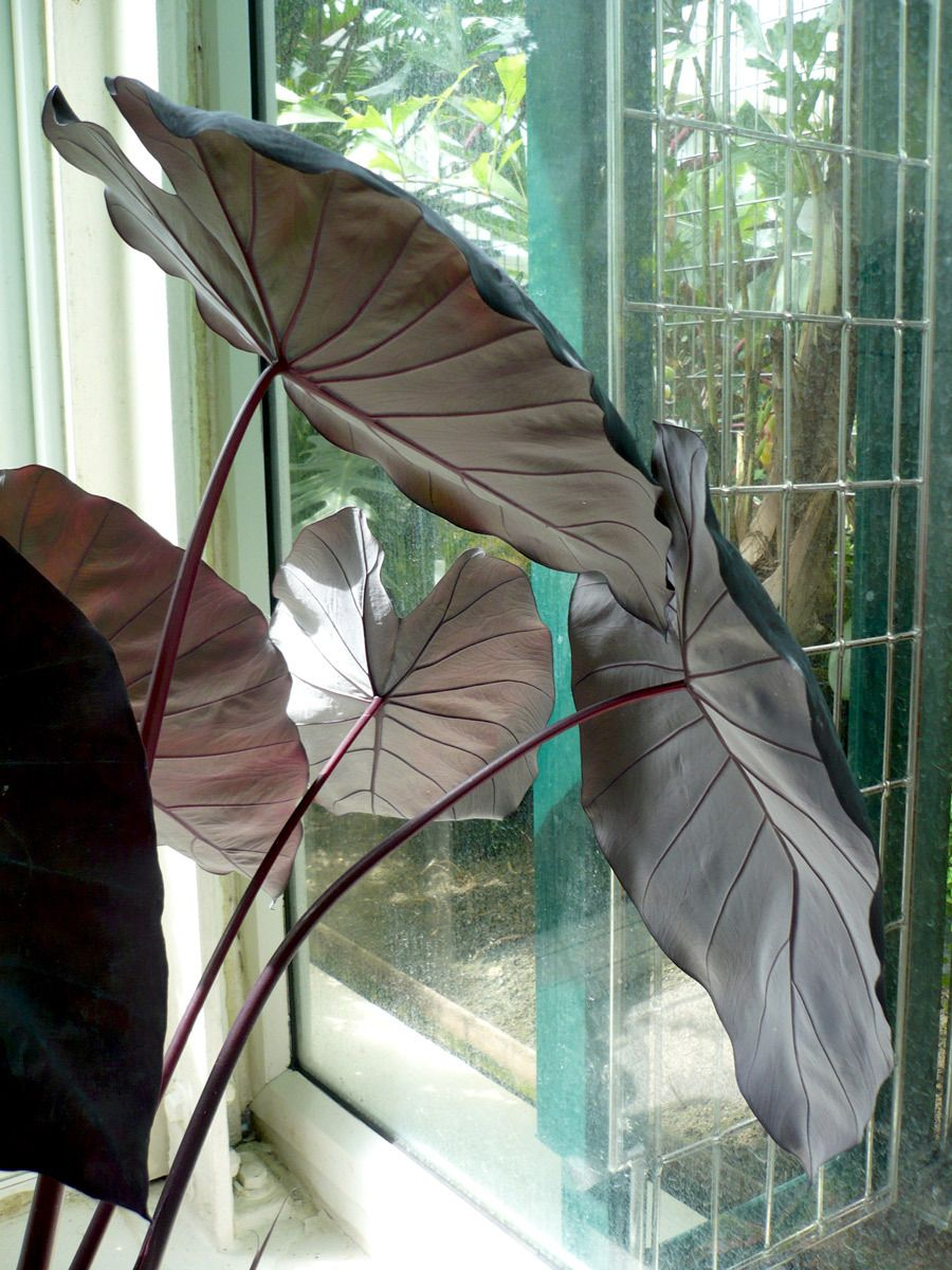 Black Philodendron