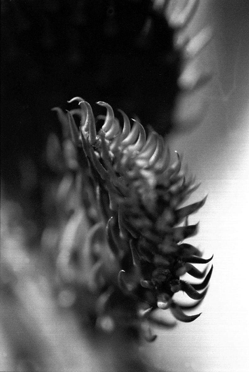 Opuntia #1, 2005Gelatin-silver photograph, selenium toned