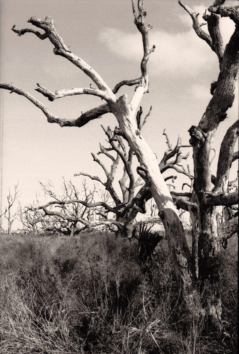 Dead Oaks, post Katrina, Delacroix, LA 2011