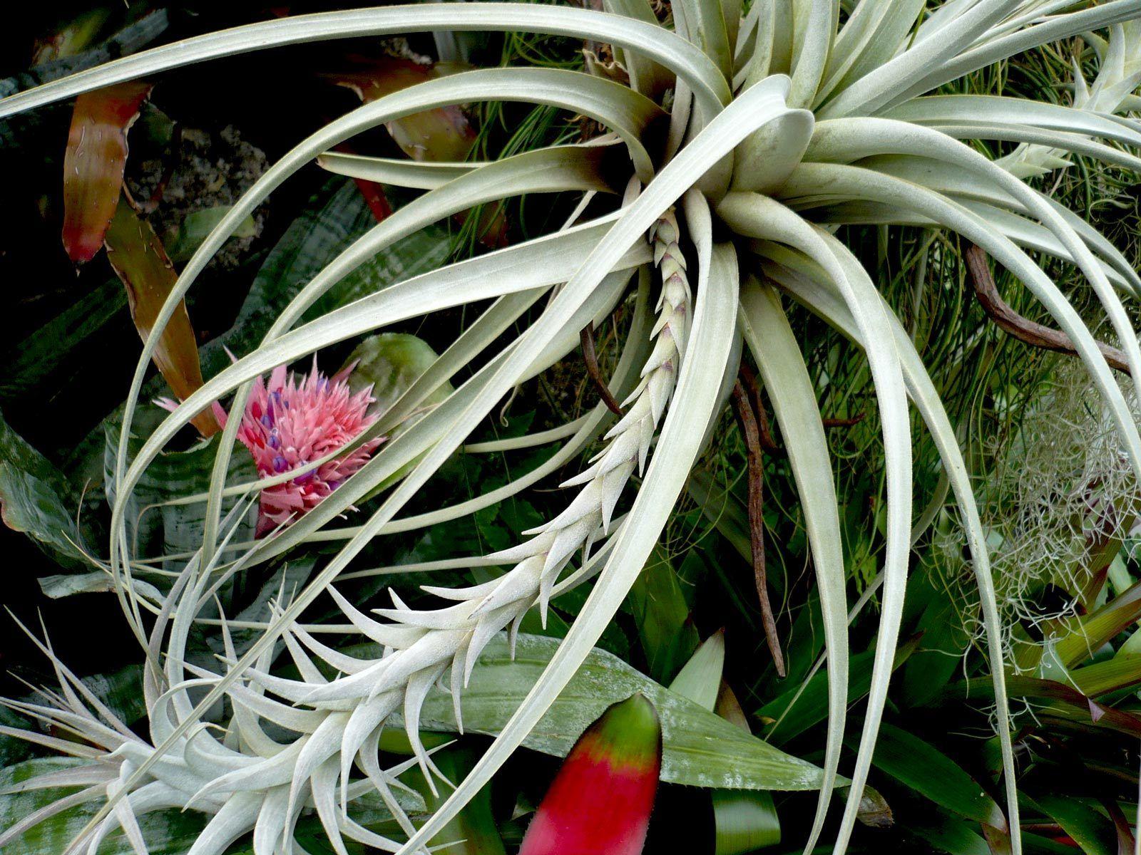 Bromeliad Blossom