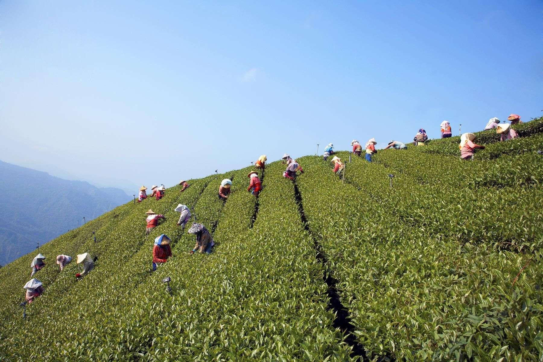 tea leaf pickersAlishan, Taiwan