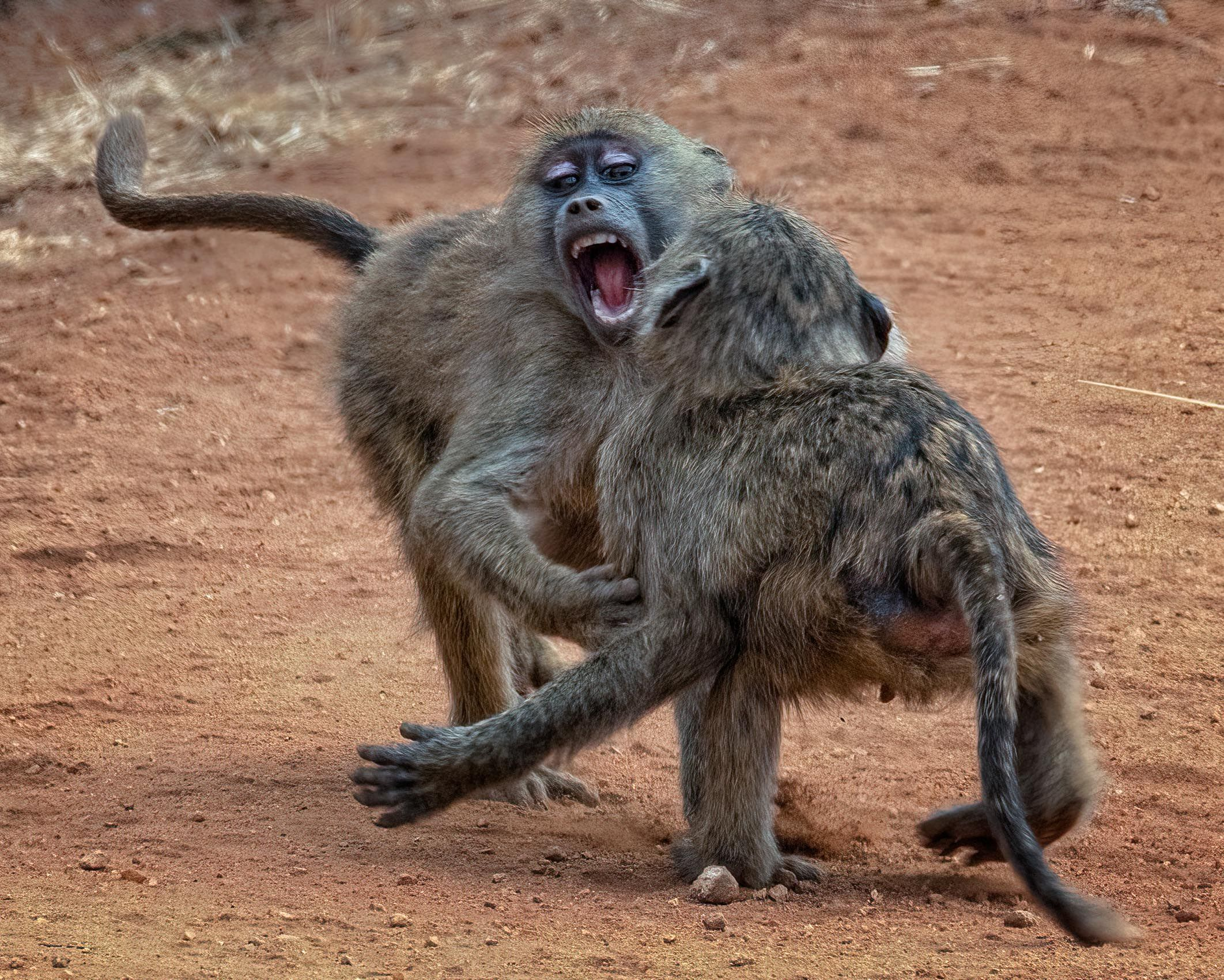 TANZANIA:  Baboons at Play and Prey
