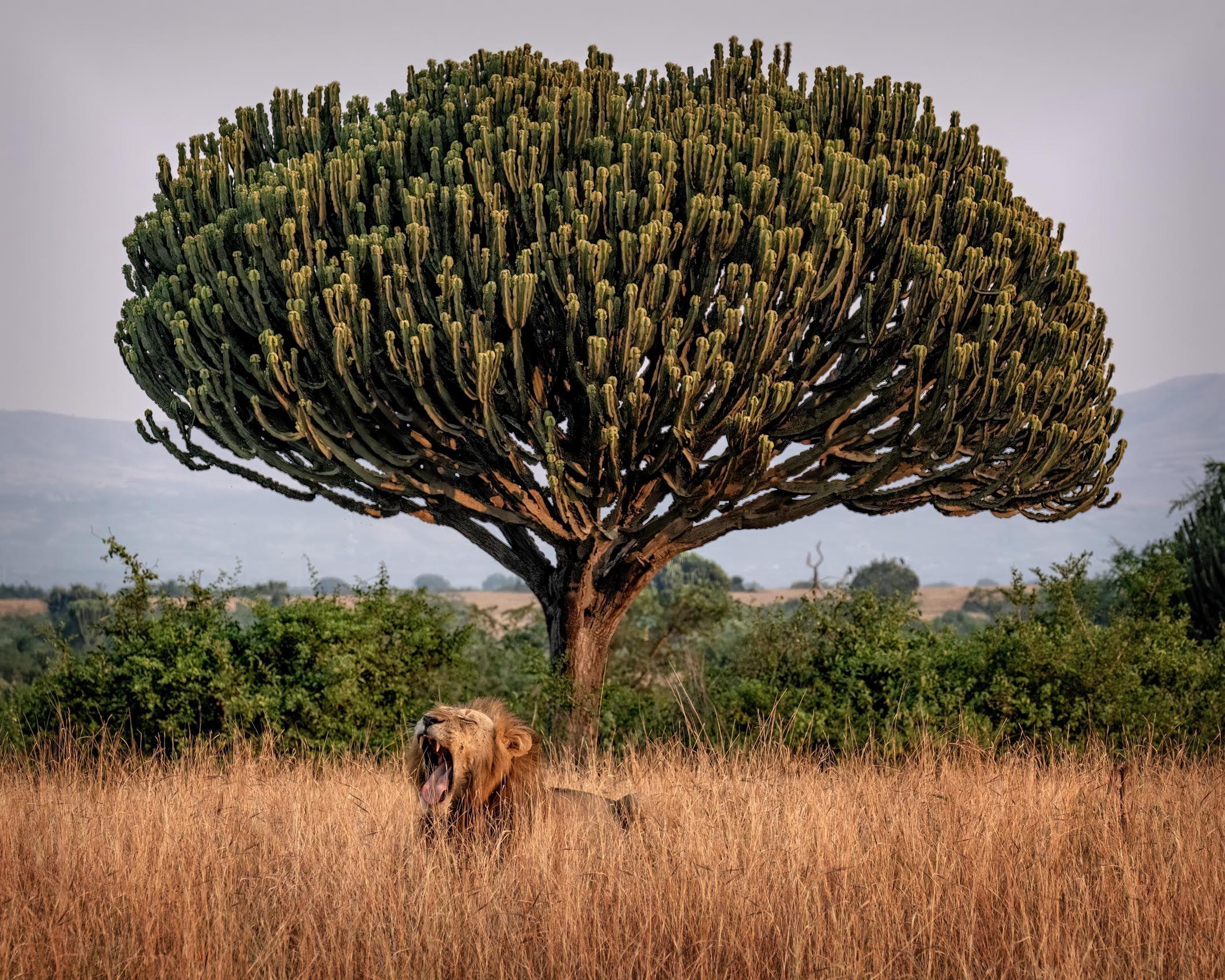UGANDA:  Wildlife in the Landscape—Queen Elizabeth National Park,  Kazinga Channel and Ishasha
