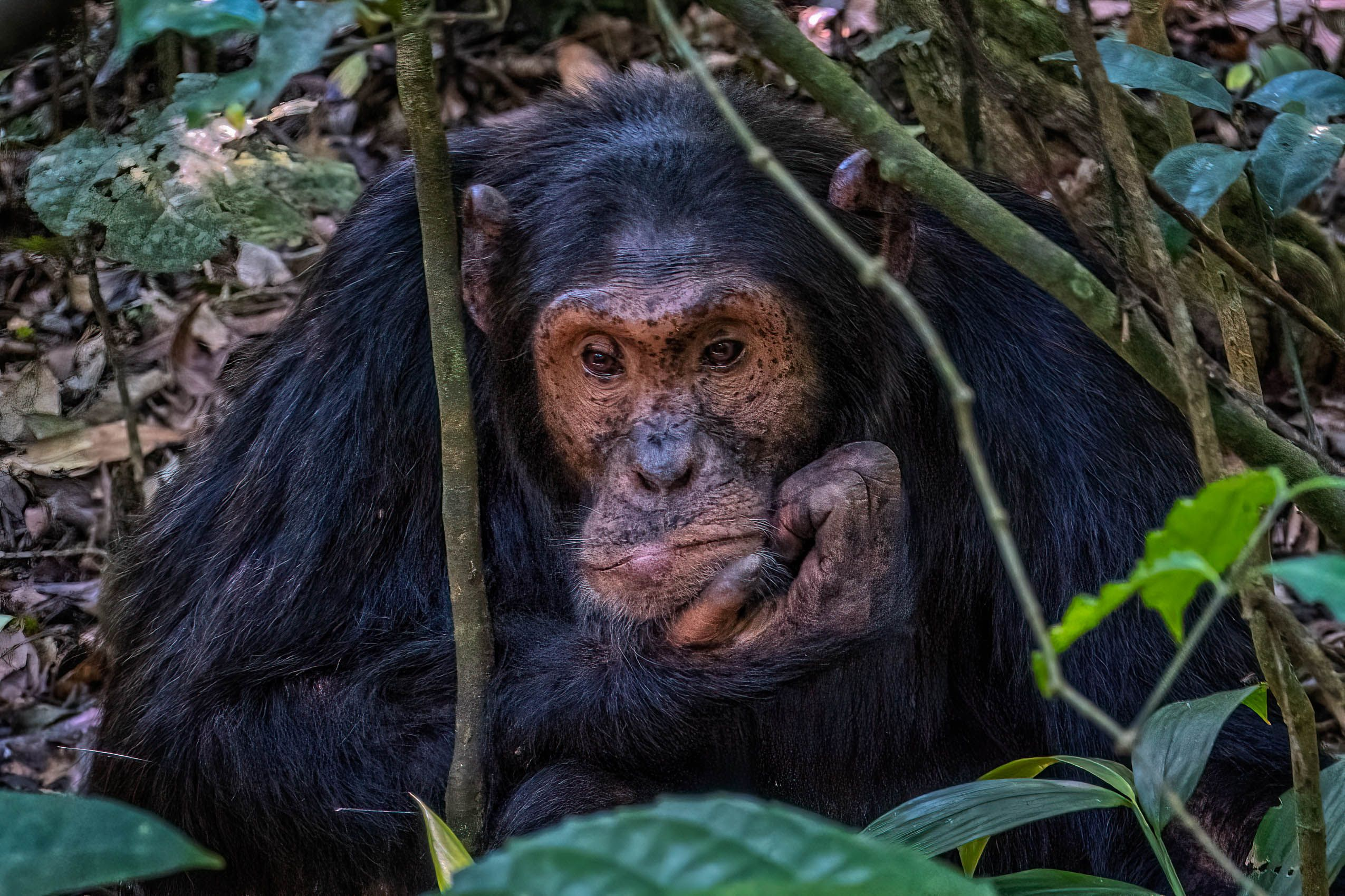 UGANDA:  Chimpanzees of Kibale Forest