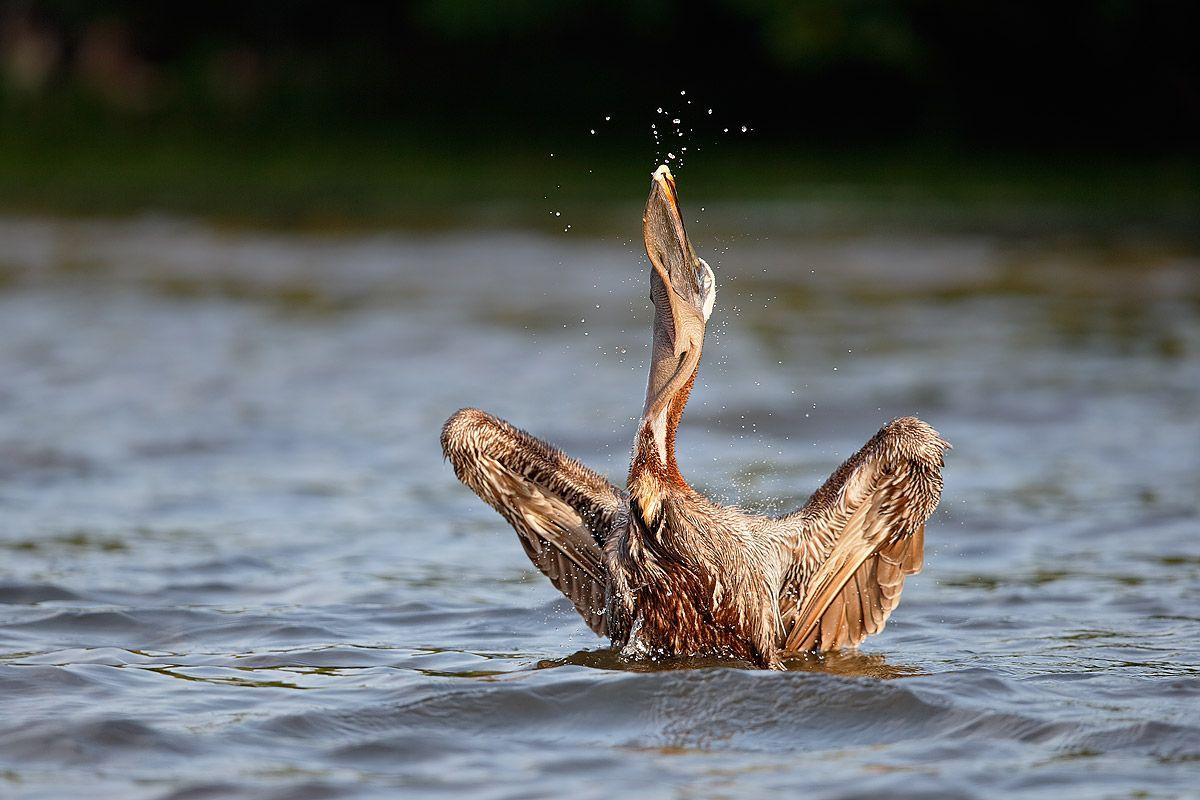 brown-pelican-shallowing-the-fish_b8r9262-alafia-banks-gibsonton-fl-usa.jpg