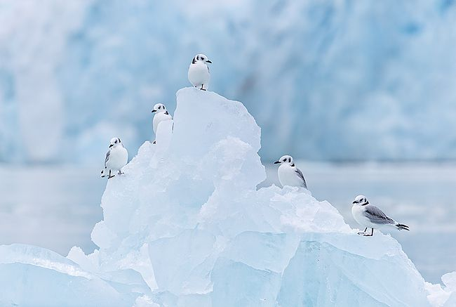 Kittiwakes-on-ice-berg-with-glacier-in-bkgd_B8R5647-Lilliehookbreen-Svalbard-Arctic.jpg