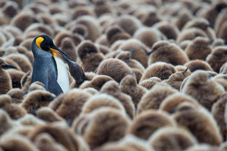 ClemensVanderwerf_King Penguin feeding oakum boy_Polar passion.jpg