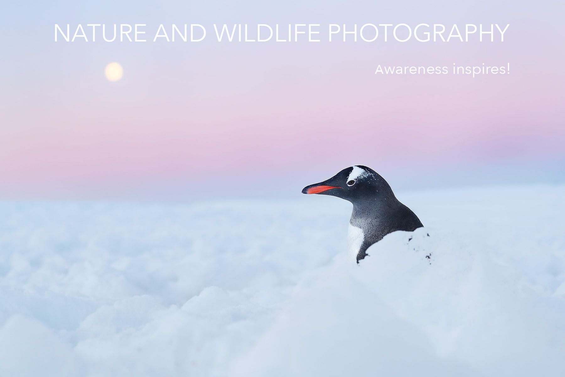 Clemens Vanderwerf_Gentoo penguin in snow with moon.jpg