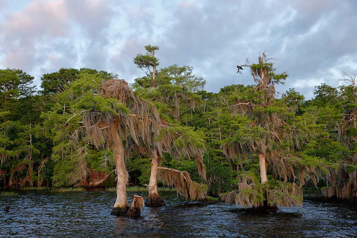 cypress-trees-in-the-water_s6a7016-lake-blue-cypress-fl-usa.jpg