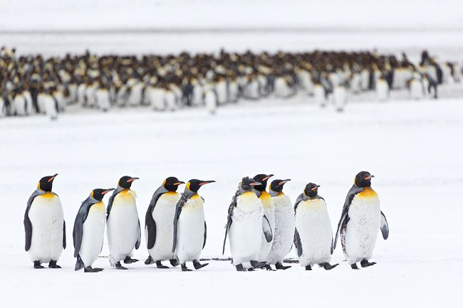 King-Penguins-marching-with-row-in-the-back_E7T2667-Right-Whale-Bay-South-Georgia-Islands.jpg