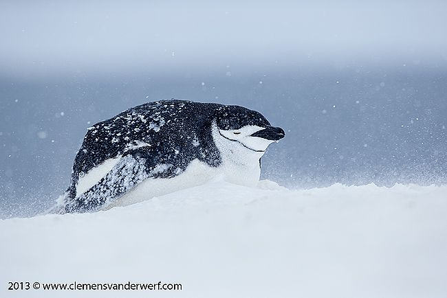 Chinstrap-penguin-hunkered-down-in-snow-storm_E7T5877-Half-Moon-Island-South-Shetland-Islands-Antarctica.jpg