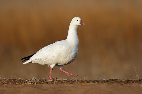 ross-goose-against-brown-bkgd-1_44a6617-bosque-del-apache-nwr-san-antonio-nm-usa.jpg