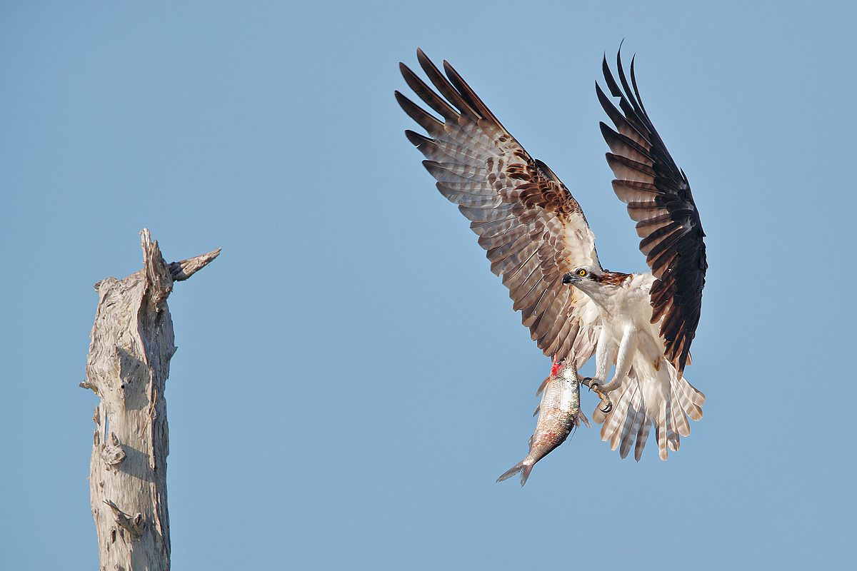 osprey-landing-with-fish_a3i0625-lake-blue-cypress-fl-usa.jpg