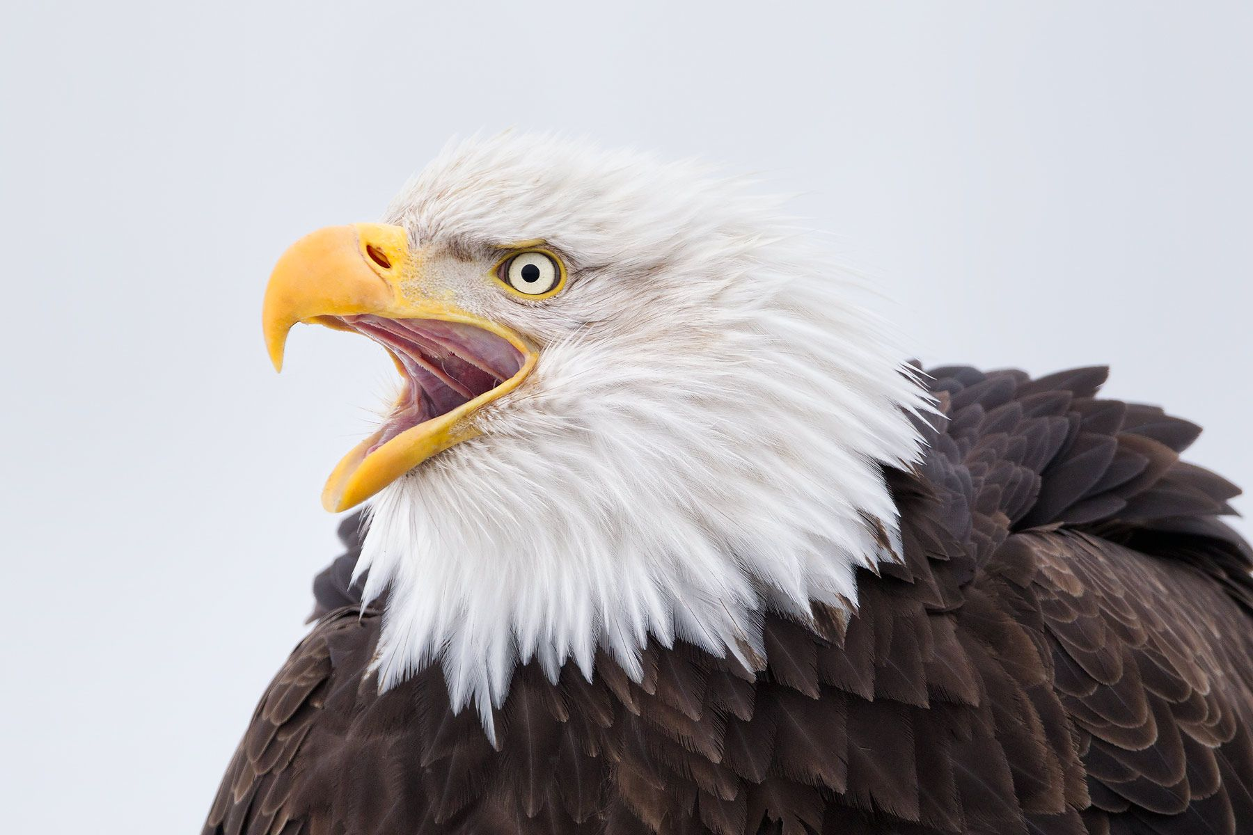Bald-eagle-calling-head-portrait_M7E7665-Kachemak-Bay,-Homer,-AK.jpg