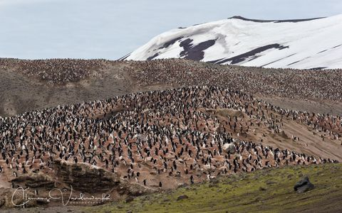chinstrap-colony-at-bailey-head_e7t3910-bailey-head-deception-island-antarctica.jpg