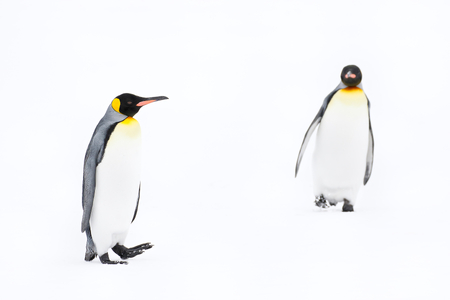 King-Penguins-walking-towards-each-other_44A6035-Fortuna-Bay,-South-Georgia-Islands,-Southern-ocean.JPG
