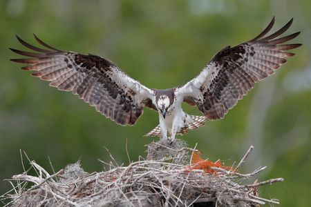 Osprey landing with spanish moss_A3I6345- Lake Blue Cypress, FL, USA.jpg
