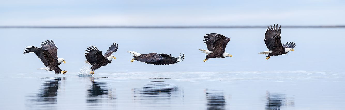 bald-eagles-fishing-sequence-ii_e7t9766-kachemak-bay-homer-alaska-usa.jpg