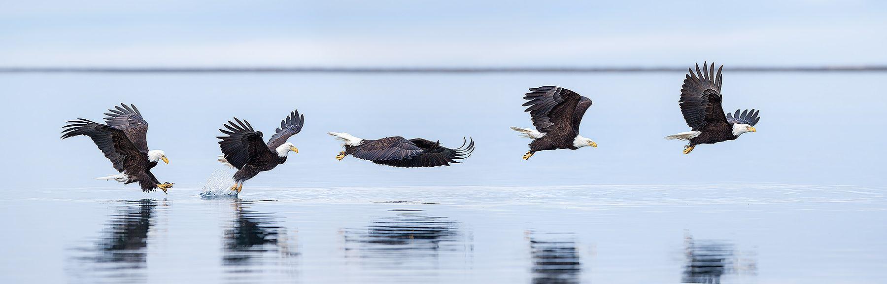bald-eagles-fishing-sequence-ii_e7t9766-kachemak-bay-homer-alaska-usa.jpg