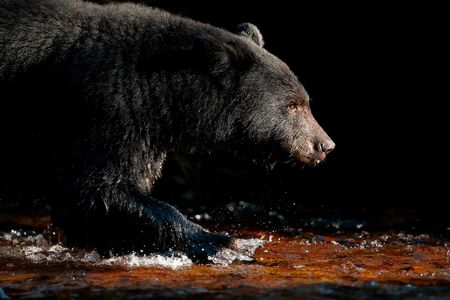 Black-bear-walking-against-dark-background_E7T4370-Gribbell-Island,-British-Columbia,-Canada,.JPG