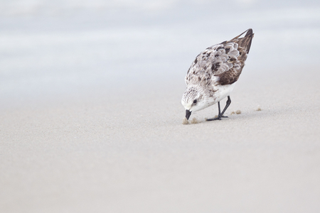 Sandpiper-juvi-pushing-up-sand-17100352-Nickerson-Beach,-NY.JPG