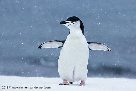 Chinstrap-penguin-with-wings-spread-in-snow-storm_E7T5860-Half-Moon-Island-South-Shetland-Islands-Antarctica.jpg