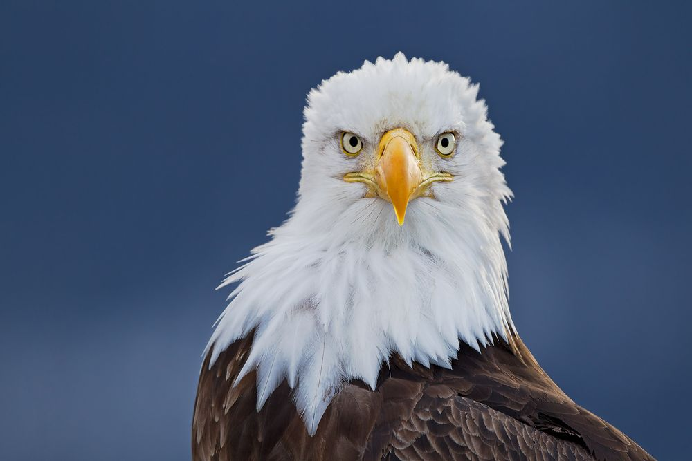 Bald-Eagle-portrait-down-the-barrel_M7E1128-Homer,-AK.JPG