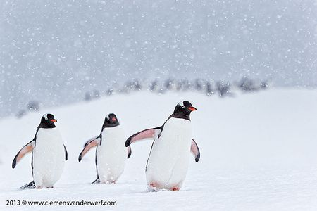 Gentoo-penguins-marching-in-the-snow_E7T7502-Cuverville-Island-Antarctica.jpg
