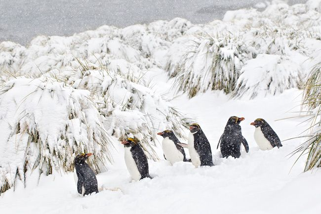 Macaroni-Penguins-lined-up-in-heavy-snow-BM7E1880-Cooper-Bay-South-Georgia-Islands.jpg