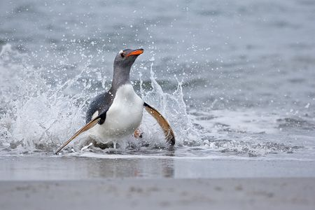 Gentoo-Penguin-landing-on-the-beach_E7T4283-Sea-Lion-Island-Falkland-Islands.jpg