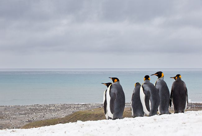 King-Penguin-group-overlooking-the-ocean_B8R1251-St.jpg
